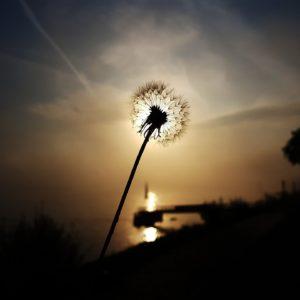 dandelion-3381545_1920